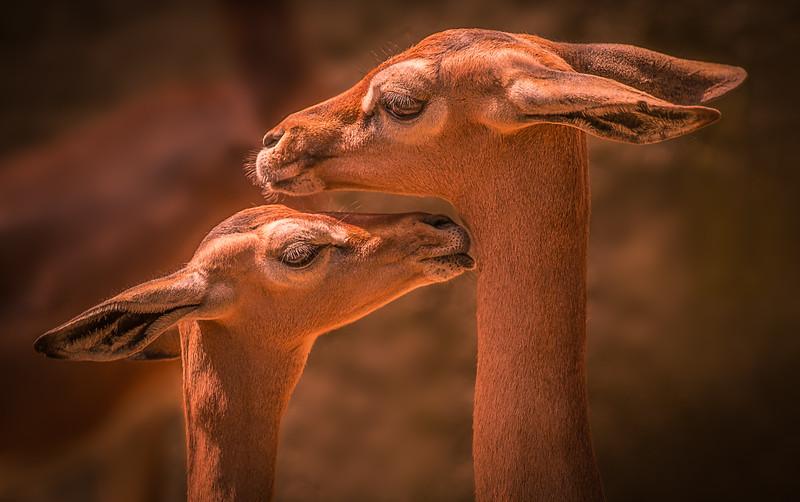 Sothern Gerenuk