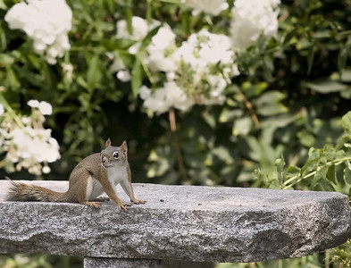 Squirrel on a rock with flowers in the background