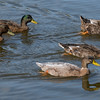 092016 Mallard Duck - Davis and Laurel - Salinas 003 7x20L