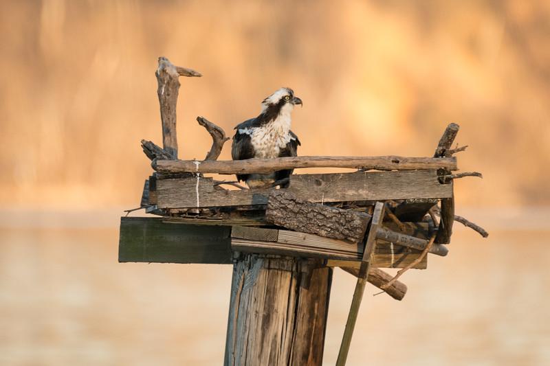 Osprey on Nesting Platform
