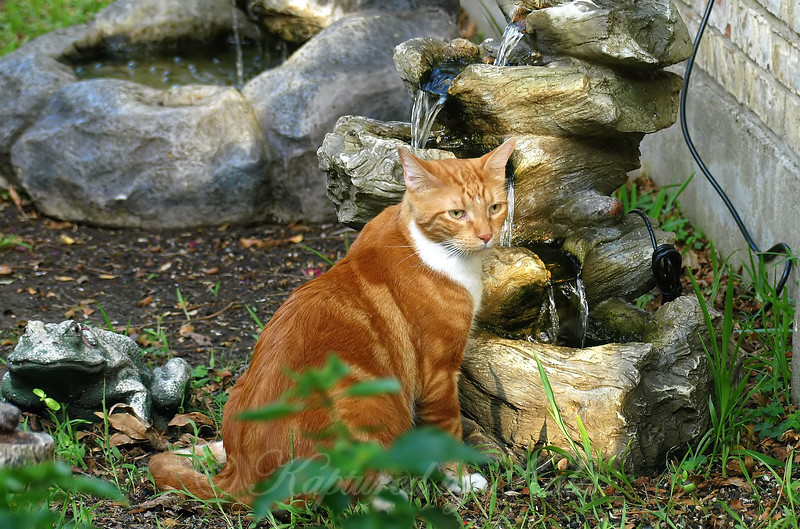 Another Neighbor's Cat Come For A Drink