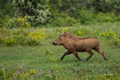 Warthog, Naivasha