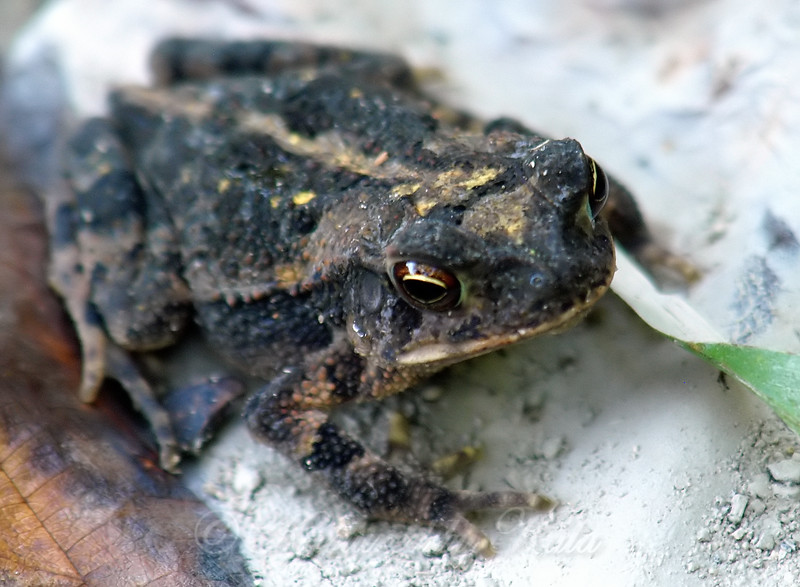 Close Up Of A Gulf Coast Toad