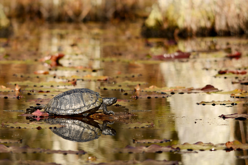 Turtle in South Carolina marshes.