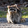 Raccoon With Distemper View 2