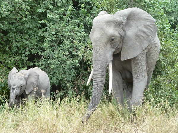 Elephant with tusks and baby, Tarangire National Park, Tanzania, East Africa