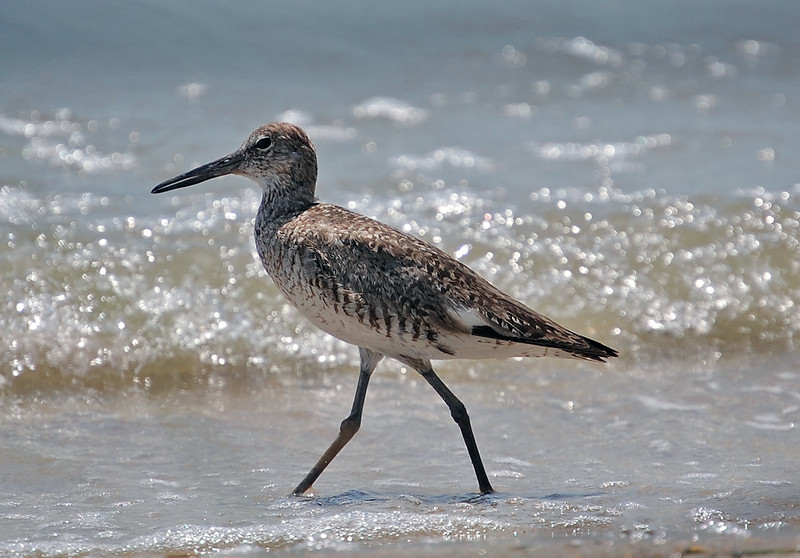 Willet. Emerald Isle, NC 2011.