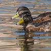 092016 Mallard Duck - Davis and Laurel - Salinas 017 4x6P