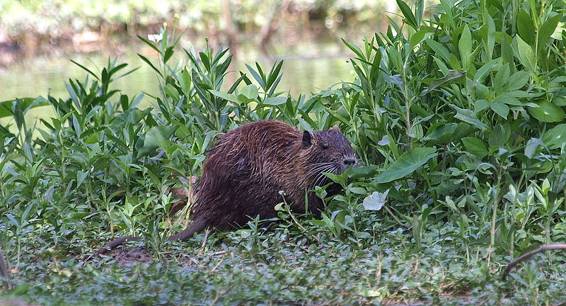 Second Time To See Nutria