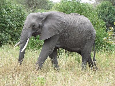 Elephant walking, Tarangire National Park, Tanzania, East Africa