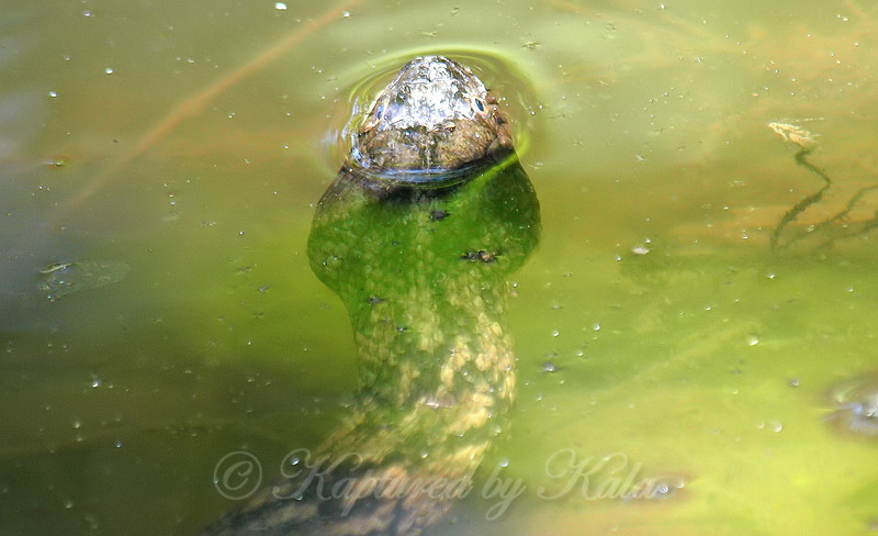 Diamondback Water Snake Mating Behavior 6
