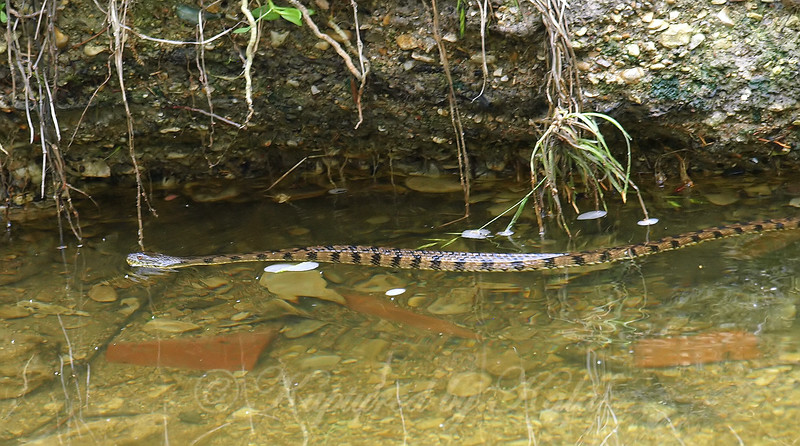 Same Creek, 2nd Snake