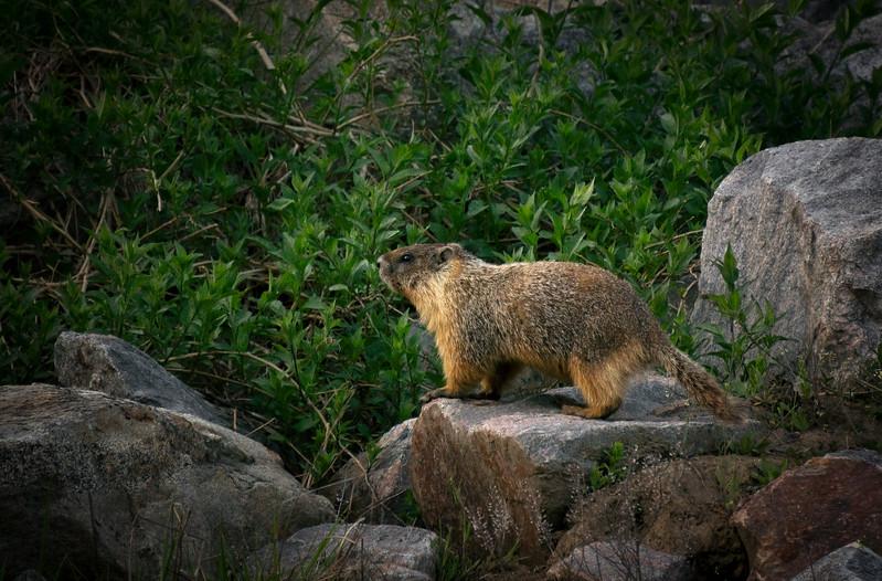 Marmot In Springtime