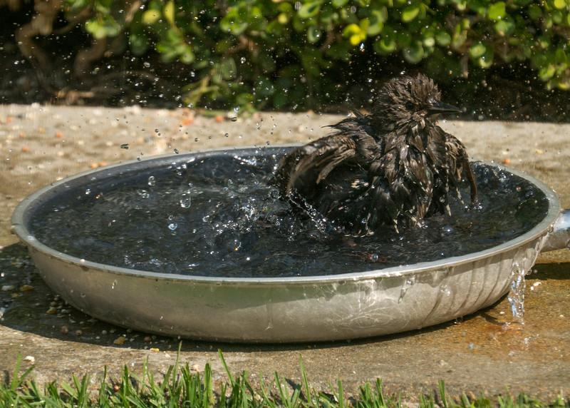 082816 Bird Bath - Salinas 009 5x7L