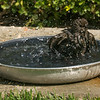 082816 Bird Bath - Salinas 009 5x7L