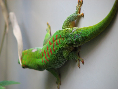Green Gecko on the wall