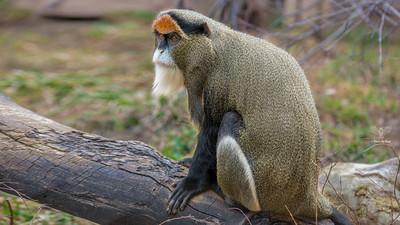 DeBrazza Monkey