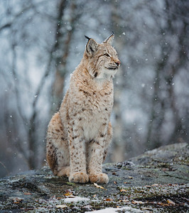 The Lynx of Norway