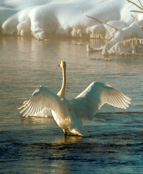 Swan In Firehole River