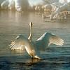 Swan In Firehole River