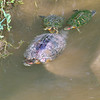 Red-eared Slider Mating Behavior 15