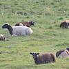 Sheep at Coffee Cove, NL