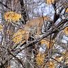 Bobcat Up A Tree