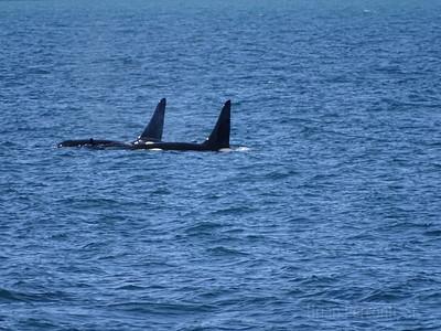 Orca Pod, Resurrection Bay, Alaska