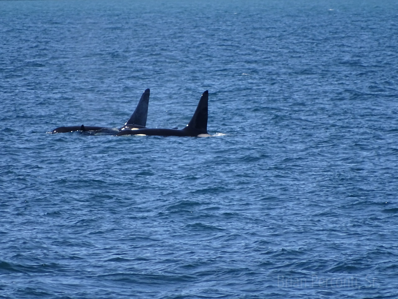 Orca Pod, Resurrection Bay, Alaska
