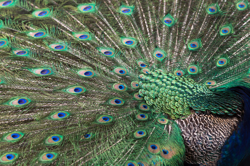 Closeup of a colorful Peacock displaying