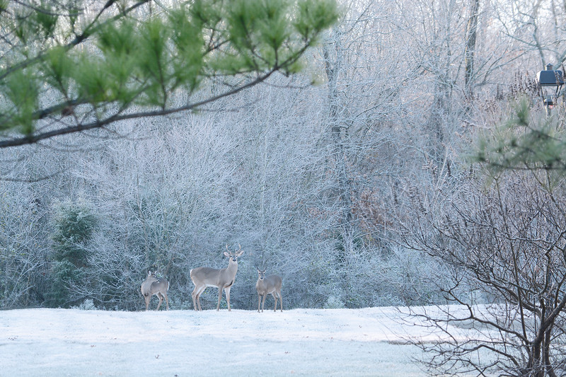 Group of deers and young buck in the frosty forest. Charlotte, North Carolina, USA.