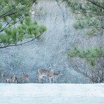 Group of deers and young buck in the frosty forest.