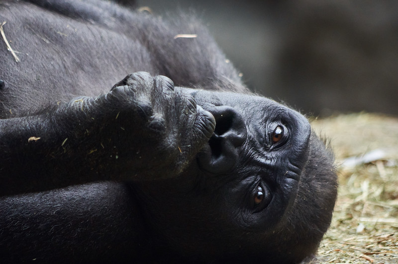 <h1>Western Lowland Gorilla</h1> <p>Vince Mullen is a photographer in Batavia, NY. See more of my <a>Animals at Convincedimaging.com</a></p>