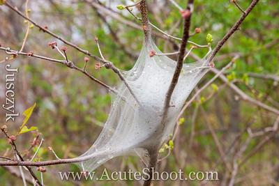 Caterpillar nest.