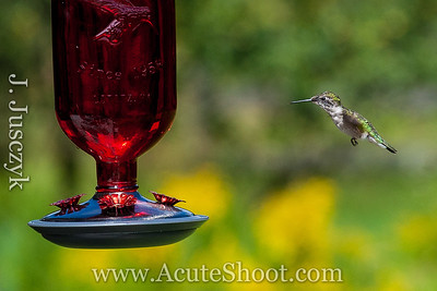 Ruby Throated Hummingbird. Wilmot, New Hampshire, August 14th 2013