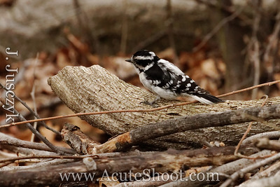 March 2012 Downy Woodpecker, Warwick RI