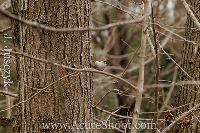 March 2012 Nuthatch, Warwick RI