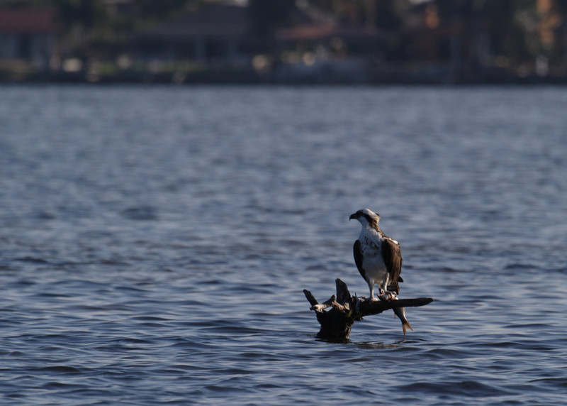 Osprey and Prey (snack!)