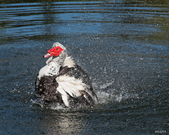 ANIMALS-WHAT BIRD OR DUCK-FLORIDA