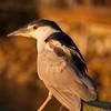 Black crowned night heron at sunset