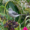 So what is a Northern Mockingbird doing in the South? - Woodsmoke Camping Resort
