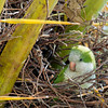 Mock Parrots in Cape Coral Florida