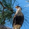 CRESTED CARACARA - ADULT