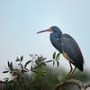 Little Blue Heron in a tree at Woodsmoke
