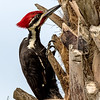 WOODPECKER-PILEATED  (MALE)