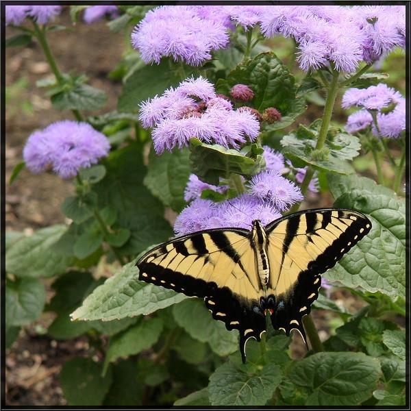 EasterTigerSwallowtail_PapilioGlaucus_3754