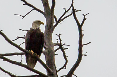 Bald eagles along the Upper Colorado River are becoming plentiful... such beauty while river rafting!