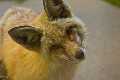 Foxy neighbor