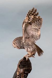 Eastern Screeh Owl