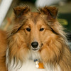 The other Sheltie, Dori. Sadly, she passed away last year at the age of four.